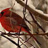 Cardinal shot in my backyard during a snow jan.5 2014